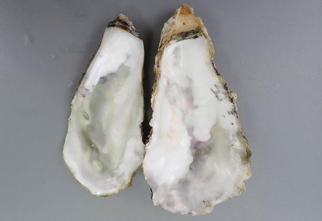 貝殻の内側は白く、閉殻筋痕(貝柱のある部分)に色の変かがない。
