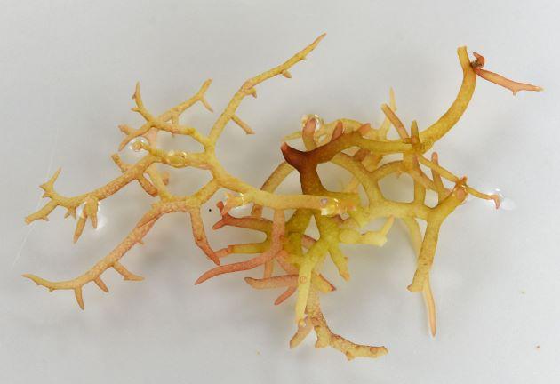 ユミガタオゴノリの形態写真