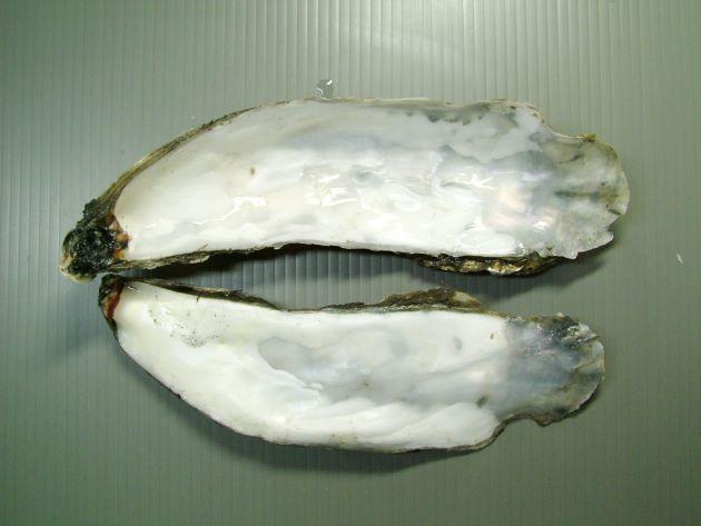 貝殻はふくらみが弱く浅い。