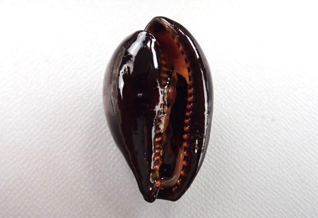45mm SL 前後になる。貝殻は黒もしくは濃い褐色で背面が青白色になる固体もいる。腹面は黒。殻口は広い。2本の黄色帯がある。