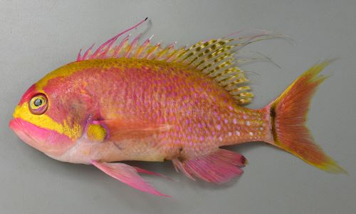 ボロサクラダイの生物写真