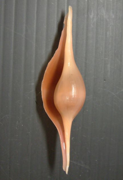 ヒガイの形態写真