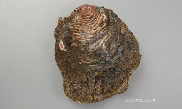 15センチを超える大型種。丸みを帯びている。成長肋は薄い板を重ねたよう。放射肋はくっきりとして目立つ。外見はイワガキと酷似して見分けるのは難しいが貝殻の硬さがイワガキよりも柔らかく、貝殻に海水を含んだような染みがある。