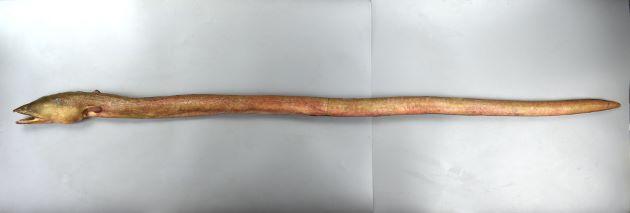ムラサキウミヘビの形態写真