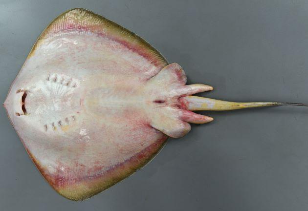 73cm DW(体盤長)前後になる。アカエイと比べて小型。体表に目立った斑紋がない。尾部正中線の皮褶は白。