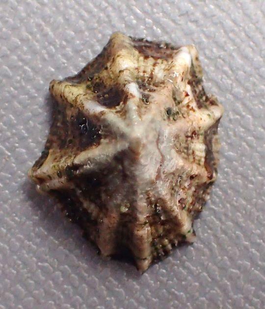 リュウキュウウノアシの形態写真