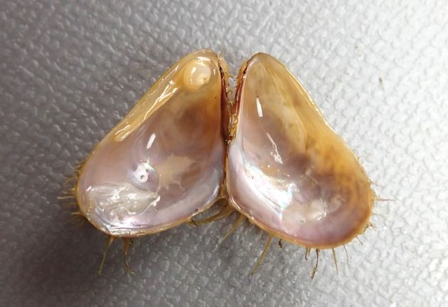 39mm SL 前後になる。貝殻は薄く幅が広い。貝殻の表面は赤みを帯びた褐色。後背部に黄褐色の太く長く丈夫な毛が生えている。