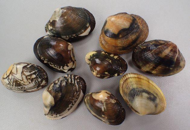 殻幅4cm前後になる。貝殻は楕円形布目状の筋がある。模様のあるなしがあり、模様は多様。[浜名湖産]