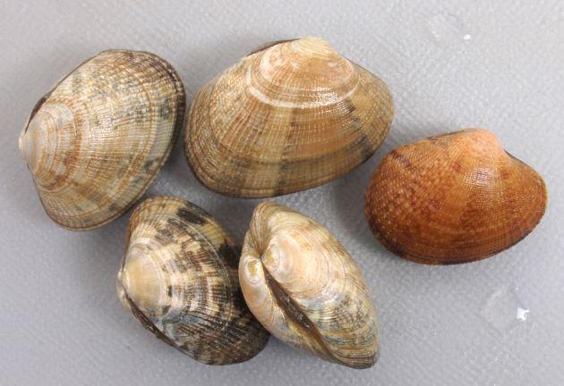 殻幅4センチ前後になる。貝殻は楕円形布目状の筋がある。模様のあるなしがあり、模様は多様。写真は千葉県木更津産でブルーが混ざり模様が多彩。