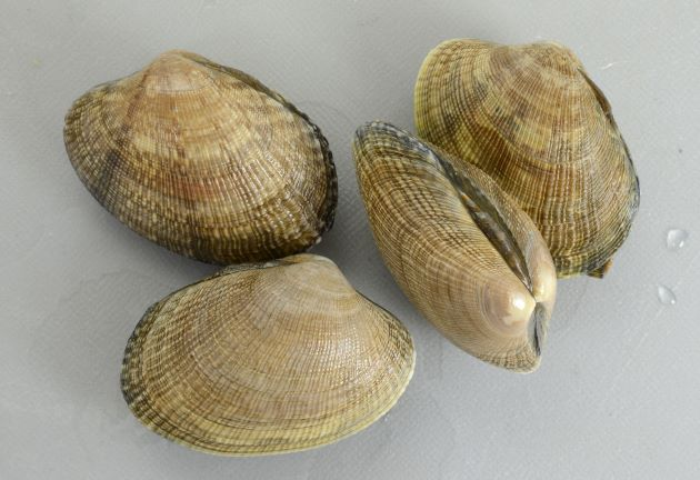 殻幅4cm前後になる。貝殻は楕円形布目状の筋がある。模様のあるなしがあり、模様は多様。[北海道産で模様がない]