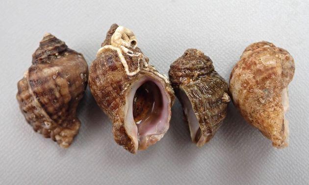チヂミボラの形態写真