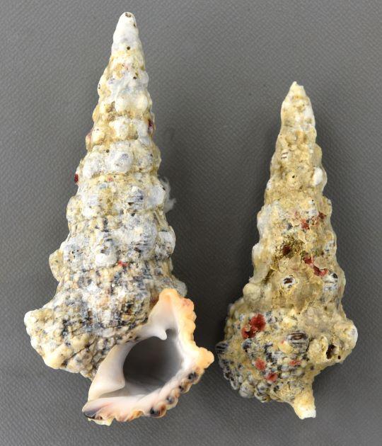 オニノツノガイの形態写真