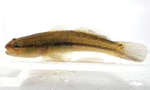 10cm SL 前後になる。若い個体は頭部がなだらかな弓なりを描き丸くほっそりとしている。大型にナルと頭部が瘤上になりまた左右に張り出す。体側に褐色の筋が出て全体に透明感のある固体、全体に褐色で横縞の出る個体がある。頭部目の下から腹部にかけて霜降り状の斑紋がある。