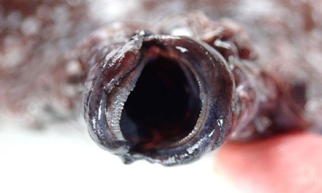 両顎の有眼部側と無眼部側に渡って歯がある。