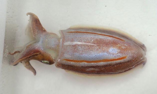 外套長8cm 前後になる。鰭は広くほぼ同じ大きさで、後端が猫などの耳を思わせる。背面鰭近く縦方向にオレンジ色の筋が生きているときはくっきり表れたり、消えたりする。貝殻はDoratosepion型。