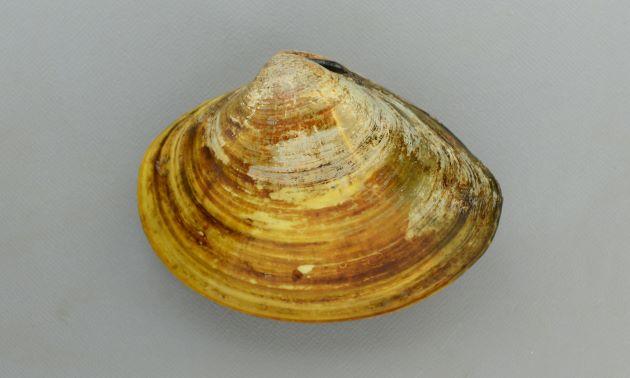 殻長8cm前後になる。丸みを帯びた三角形で殻頂付近がいちばん膨らみが強い。後縁は大きくなるに従い直線的になる。帯状の斑文を持つもの、黒一色のものなど色彩は多様。写真は丹後宮津産の大形で後縁が直線的。またこの宮津湾周辺のものは無紋で黄土色をしている。