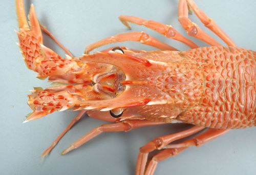 体長25.8cm・甲幅7.6cm前後になる。額縁には正中棘、眼上棘が1対、眼下棘が1対。腹部の背面各節に4〜7条の横溝がある。