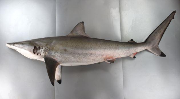 ハナザメの形態写真