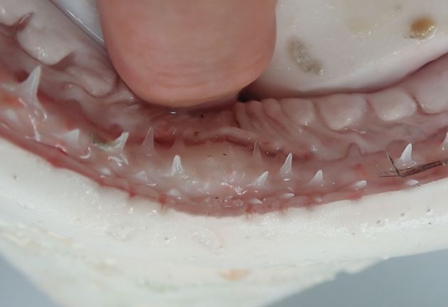 歯は尖る。