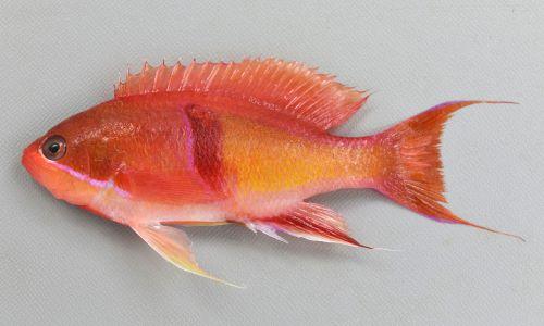 アカオビハナダイの生物写真