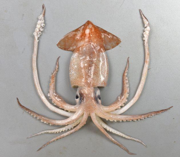 ニセマツイカの形態写真