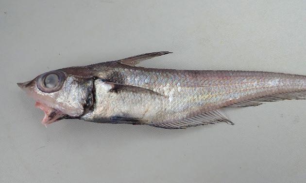 36cm SL 前後になる。胸鰭上部にやや大きな黒い斑紋がある。吻は尖り、体表はザラザラと棘を感じる。第1背鰭と第2背鰭は離れている。鰓条骨は6、発光器はやや長い。