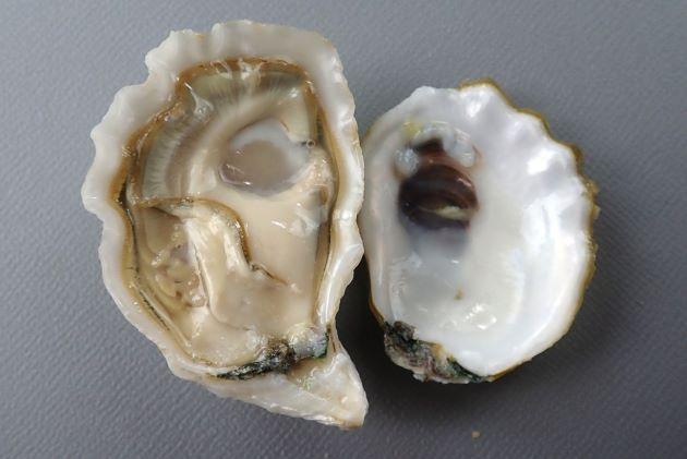 SH 60mm 前後になる。貝殻はチョーク質ではなく陶器を思わせる。類円形(正円に近い楕円形)で貝殻は白もしくは少し黄色みがかる。左殻は深く右殻よりも大きいことが多い。