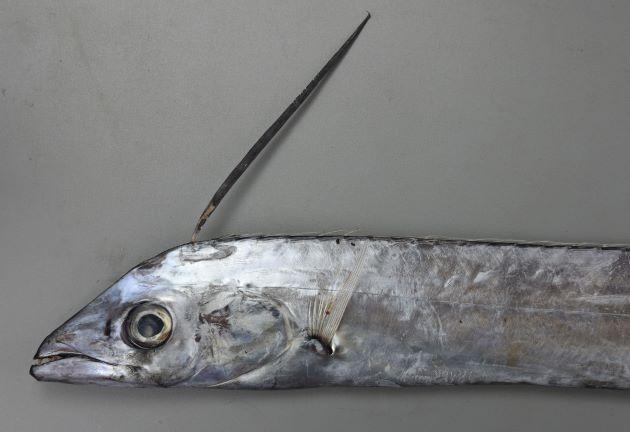 2m TL 前後になる。吻から背鰭にかけて直線的に隆起し、尾鰭がある。背鰭第1棘は非常に長い。頭長は眼径の5.5〜5.8倍。