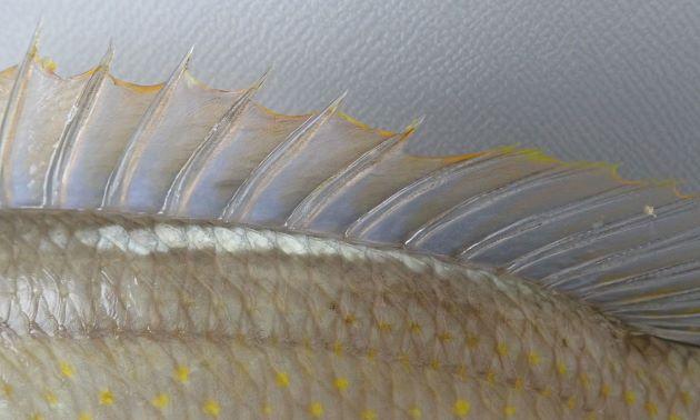 背部背鰭近くに白い縦縞がある。