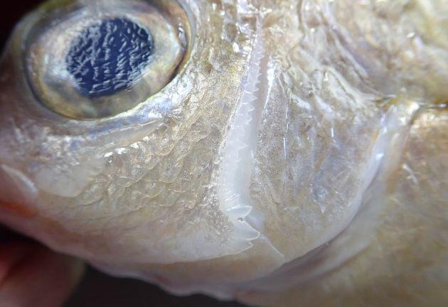 眼下骨の縁辺と前鰓蓋骨の下縁に鋸歯がある。眼下骨には後方に向かう大きな棘が1本ある(上に前方に向かう棘がない)。