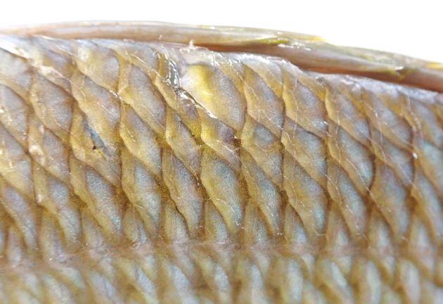 背鰭第5-6棘と側線との間の鱗は3-4。