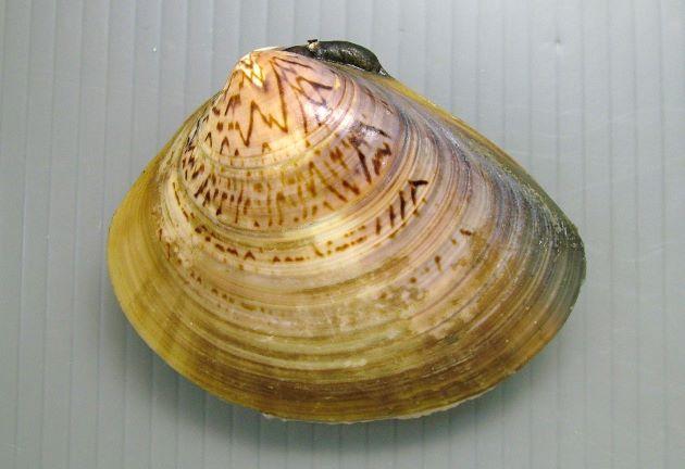 殻長10cm前後になる。非常にハマグリに似て、殻頂近くの筋、もしくは斑点模様で見分ける。ハマグリよりもやや丸みを帯びる。[大型個体]