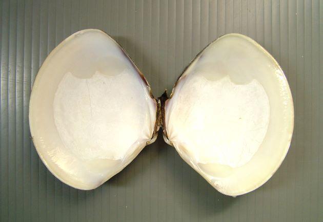 殻長10cm前後になる。非常にハマグリに似て、殻頂近くの筋、もしくは斑点模様で見分ける。ハマグリよりもやや丸みを帯びる。