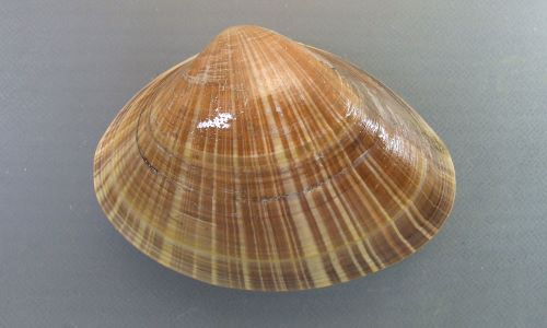 殻長10cm前後になる。薄いベージュで放射線状の褐色の筋が入る事が多い。写真は北海道根室産