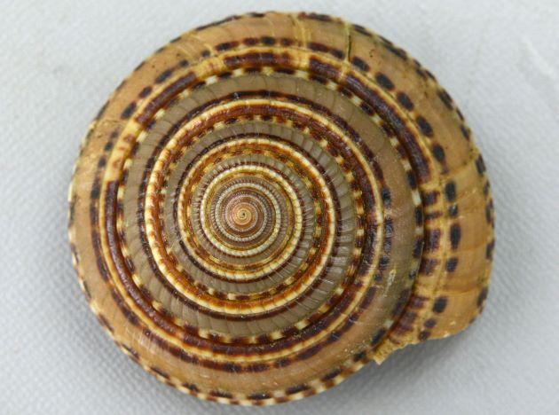 クルマガイの形態写真
