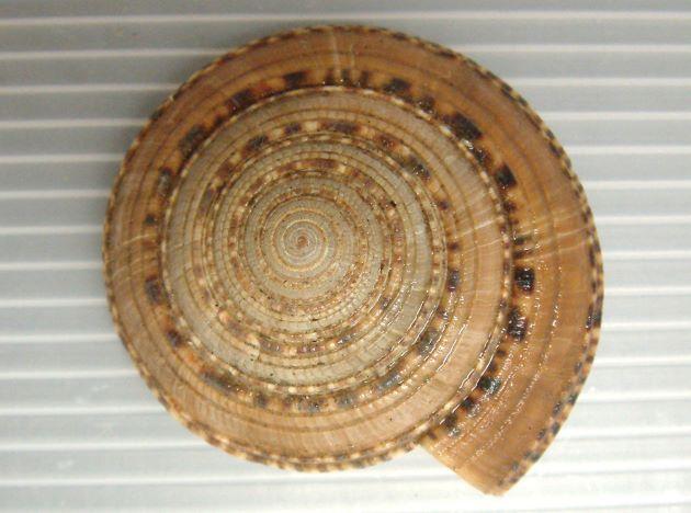 マキミゾグルマの形態写真