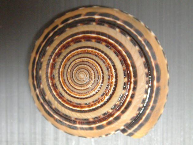 クロスジグルマの形態写真