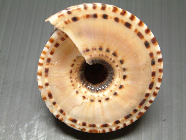 50mm SW 前後になる。殻は低い円錐形。臍孔は広い。縫合の下に1本、周縁に2本の褐色斑をのせた螺肋があり、その間は平で模様がない。
