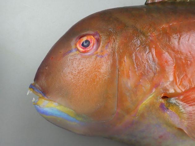 33cm SL 前後になる。側線は尾鰭直前まで連続している。背部に暗色があり、明るい部分に斜めに分かれる。体側にたすき状の黒い斑紋がない。