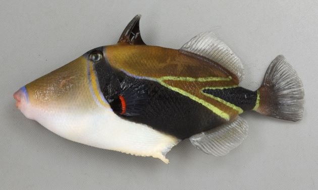 18cm SL 前後になる。比較的体高は低く頭部が突出しておちょぼ口をしている。背から目と胸鰭、尻鰭に到達する広く黒い帯がある。[体長18cm、重さ181g]