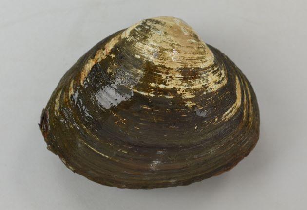 殻長15cm、殻高12cm、殻幅10cm、重さ600gを超える。黒っぽい殻皮があり、膨らみが非常に高く三角お握り型。
