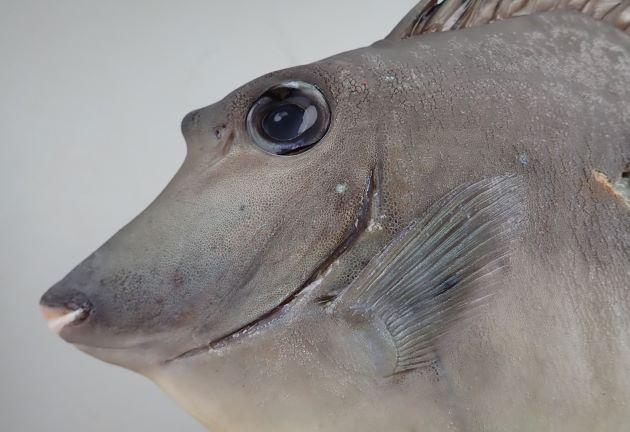 雄90cm SL 前後になる。雌68cm SL 前後になる。雄は前頭部の角状突起が長く、雌は丸く微かに突出する程度。尾鰭上葉・下葉の後端は伸びる。背鰭の途中で山なりに隆起する。[28cm SL 重さ520g]