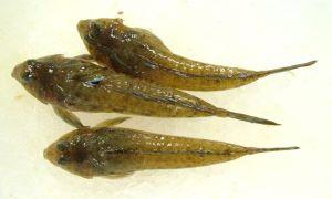 ヌメリゴチのサムネイル写真