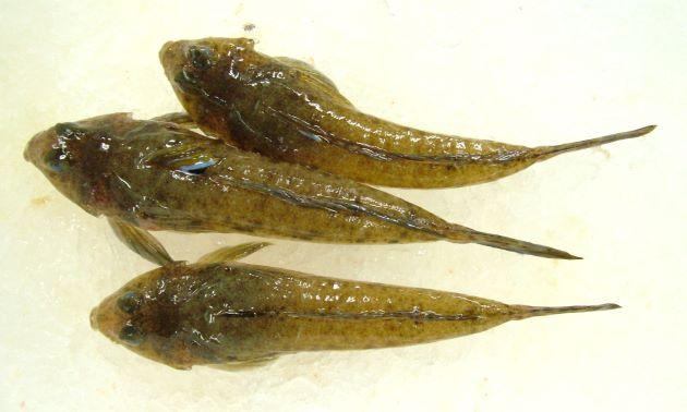 ヌメリゴチの形態写真