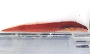 コモンイトギンポのサムネイル写真