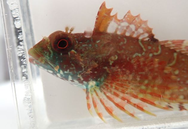 8cm SL 前後になる。頭部に皮弁がある。尾鰭は丸い。第1背鰭と第2背鰭は皮膜で連続しない。