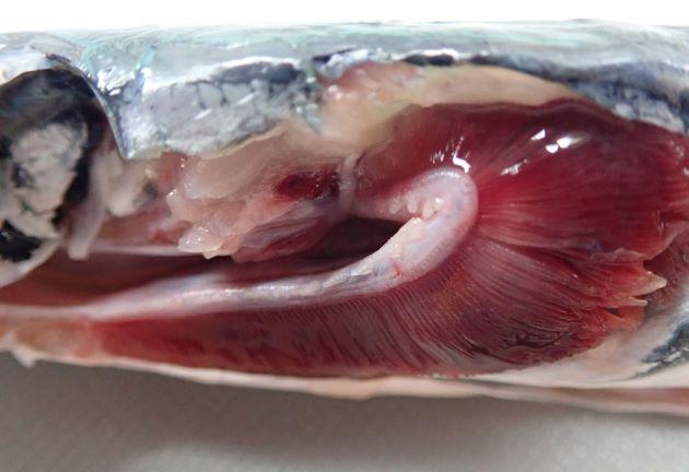 第1鰓弓に鰓耙がある。