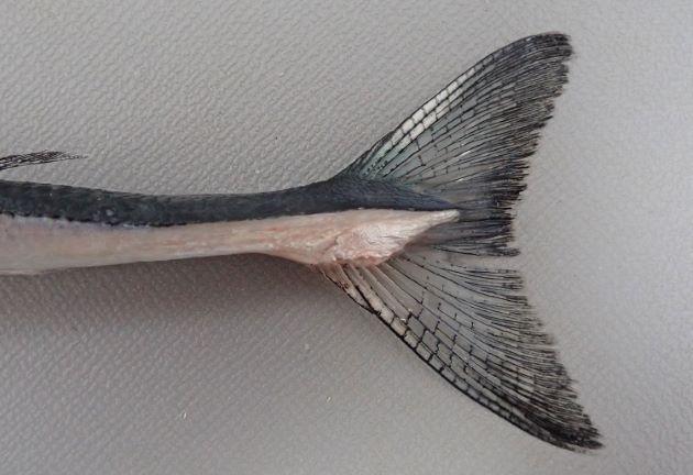 尾柄部側面に隆起線があり、尾柄部は縦へんし、断面は左右に長い楕円形をしている。