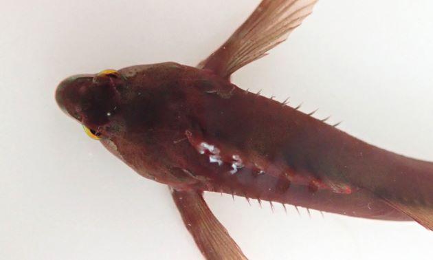 8cm SL 前後になる。すんなりスマートな姿で採取した個体は褐色で無紋だった。頭部の吻近くは少し尖る。眼後部に1対の皮弁がある。側線前方部に皮弁がある。