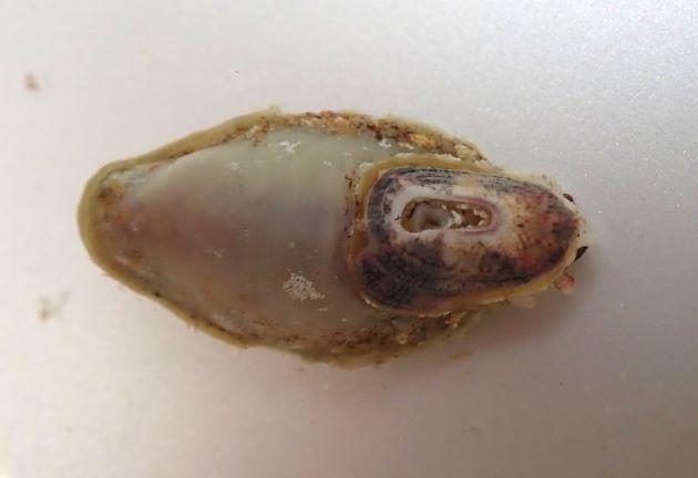 ヒラスカシガイの形態写真